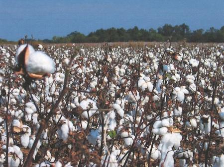CottonCrop-web